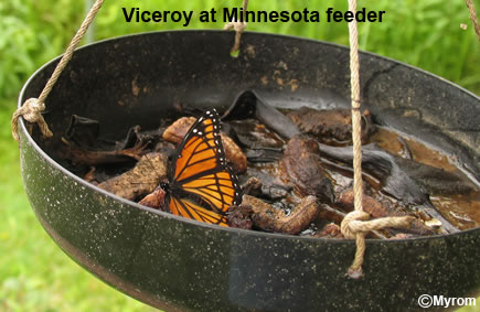 Viceroy at feeder