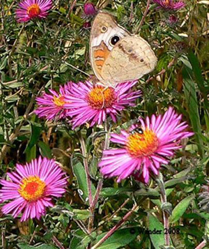 Common Buckeye On New England Aster